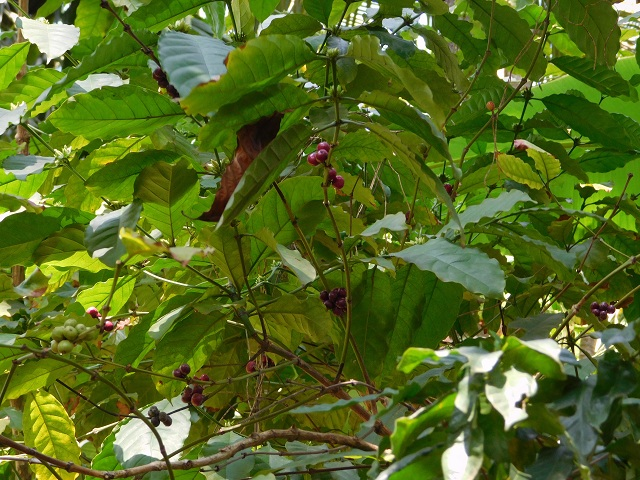 Coffee Seeds Spice Garden Goa